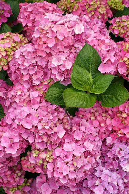 pink_hydrangea_blooms_with_foliage